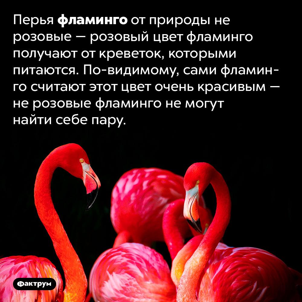 Не розовые фламинго непользуются успехом упротивоположного пола. Перья фламинго от природы не розовые — розовый цвет фламинго получают от креветок, которыми питаются. По-видимому, сами фламинго считают этот цвет очень красивым — не розовые фламинго не могут найти себе пару.