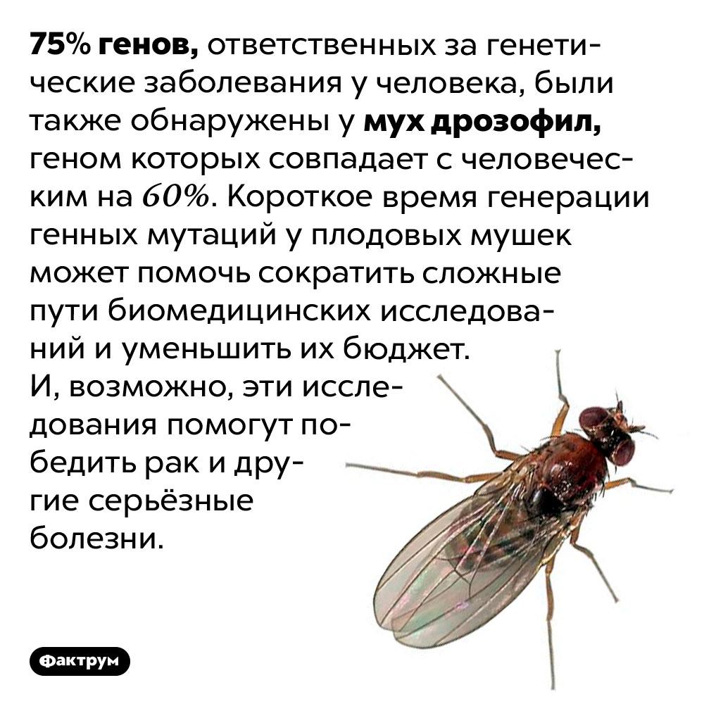 Плодовые мушки почти как мы. 75% генов, ответственных за генетические заболевания у человека, были также обнаружены у мух дрозофил, геном которых совпадает с человеческим на 60%. Короткое время генерации генных мутаций у плодовых мушек может помочь сократить сложные пути биомедицинских исследований и уменьшить их бюджет. И, возможно, эти исследования помогут победить рак и другие серьёзные болезни.
