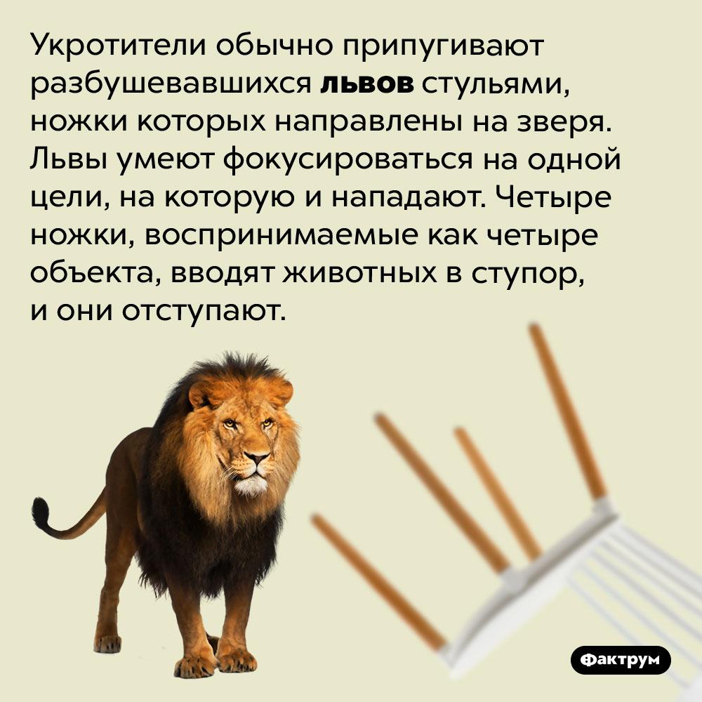 Львы неумеют фокусироваться нанескольких объектах. Укротители обычно припугивают разбушевавшихся львов стульями, ножки которых направлены на зверя. Львы умеют фокусироваться на одной цели, на которую и нападают. Четыре ножки, воспринимаемые как четыре объекта, вводят животных в ступор, и они отступают.