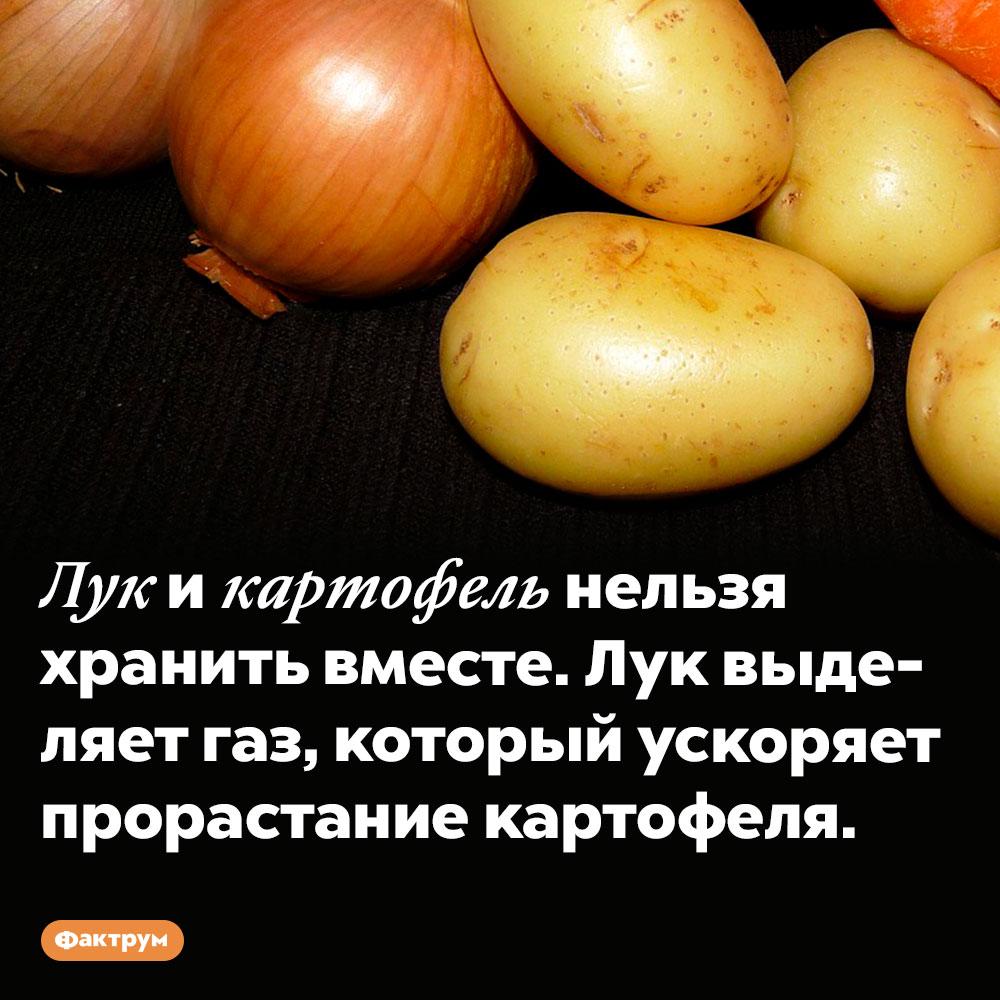 Картофель нельзя хранить с луком. Лук и картофель нельзя хранить вместе. Лук выделяет газ, который ускоряет прорастание картофеля.