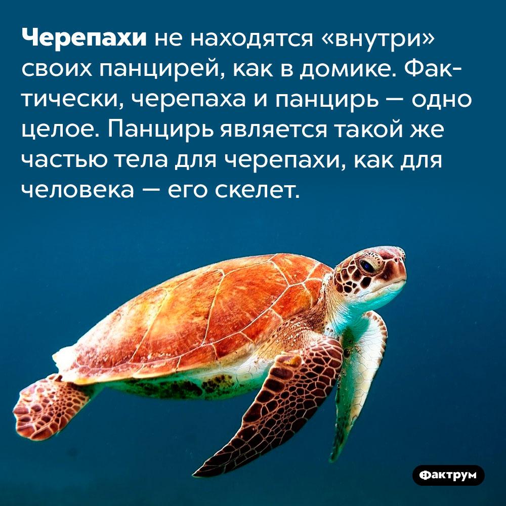 Черепаха и панцирь — одно целое. Черепахи не находятся «внутри» своих панцирей, как в домике. Фактически, черепаха и панцирь — одно целое. Панцирь является такой же частью тела для черепахи, как для человека — его скелет.