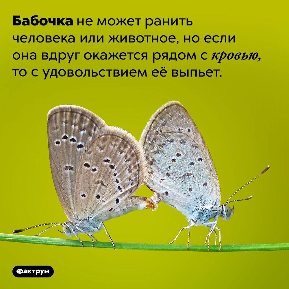 Все бабочки пьют кровь. Бабочка не может ранить человека или животное, но если она вдруг окажется рядом с кровью, то с удовольствием её выпьет.