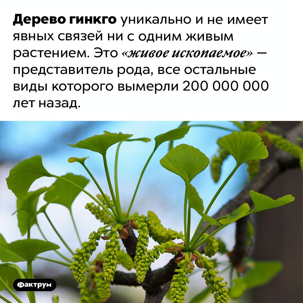 Дерево гинкго абсолютно уникально. Дерево гинкго уникально и не имеет явных связей ни с одним живым растением. Это «живое ископаемое» — представитель рода, все остальные виды которого вымерли 200 000 000 лет назад.