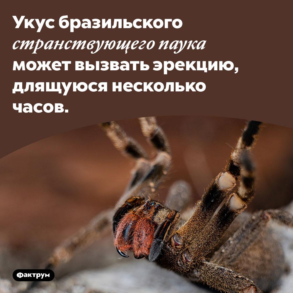 Паук-виагра. Укус бразильского странствующего паука может вызвать эрекцию, длящуюся несколько часов.