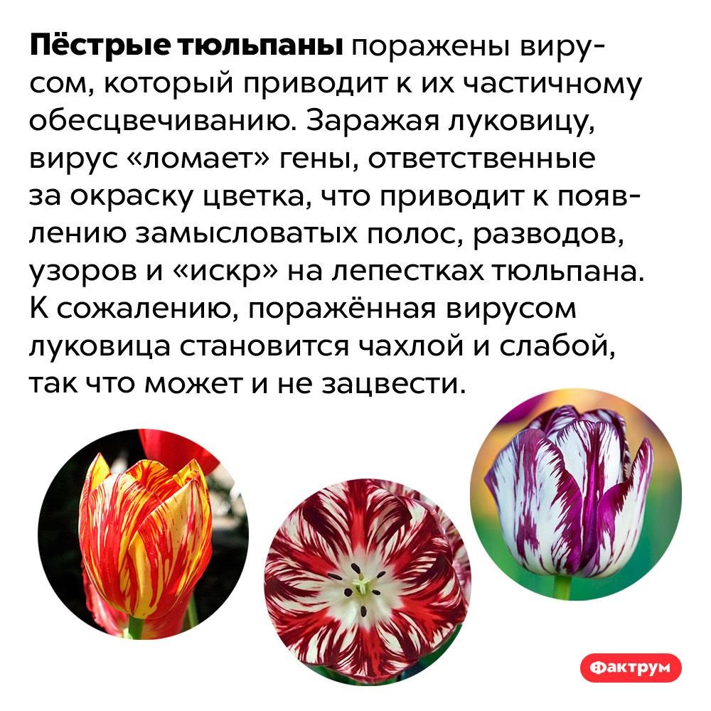 В пёстрой окраске тюльпанов виноват вирус. Пёстрые тюльпаны поражены вирусом, который приводит к их частичному обесцвечиванию. Заражая луковицу, вирус «ломает» гены, ответственные за окраску цветка, что приводит к появлению замысловатых полос, разводов, узоров и «искр» на лепестках тюльпана. К сожалению, поражённая вирусом луковица становится чахлой и слабой, так что может и не зацвести.