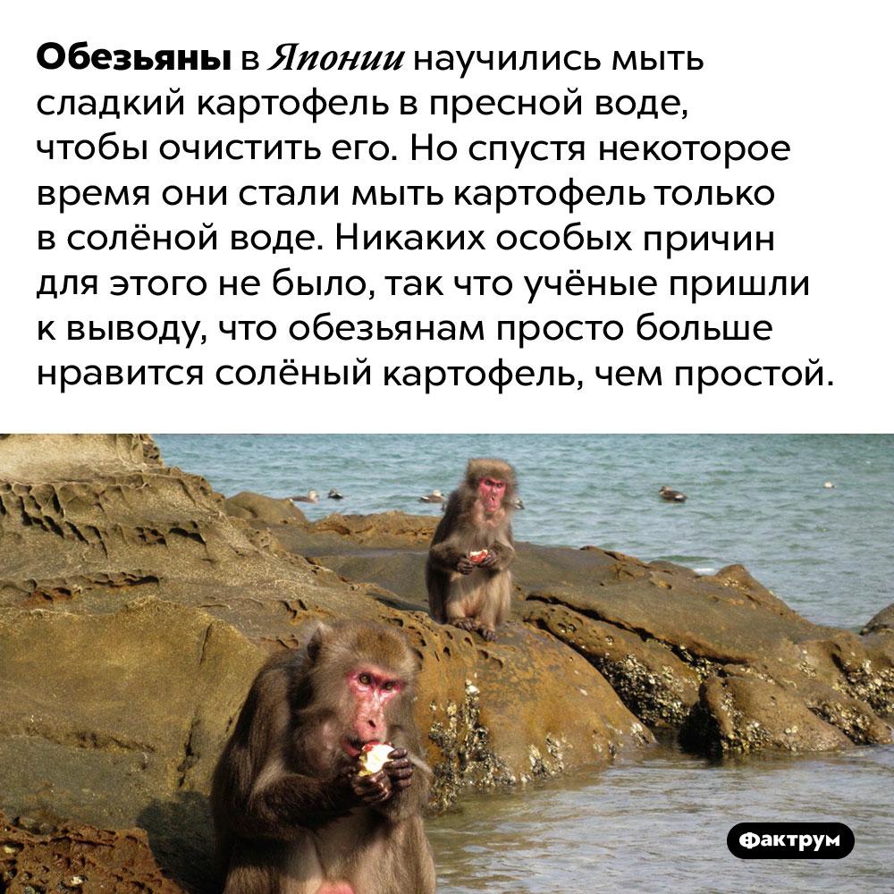 Обезьяны любят солёное. Обезьяны в Японии научились мыть сладкий картофель в пресной воде, чтобы очистить его. Но спустя некоторое время они стали мыть картофель только в солёной воде. Никаких особых причин для этого не было, так что учёные пришли к выводу, что обезьянам просто больше нравится солёный картофель, чем простой.