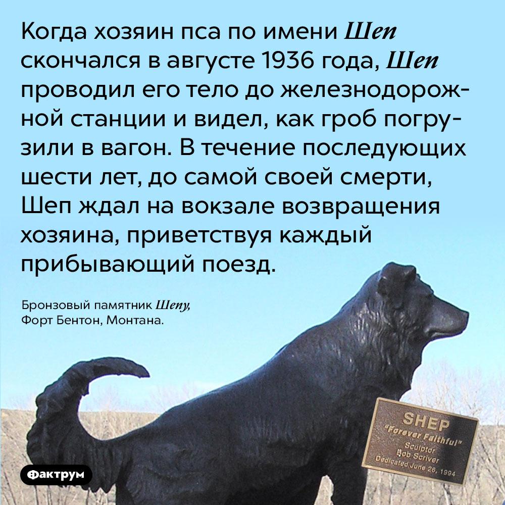 Верный пёс Шеп ждал возвращения хозяина шесть лет. Когда хозяин пса по имени Шеп скончался в августе 1936 года, Шеп проводил его тело до железнодорожной станции и видел, как гроб погрузили в вагон. В течение последующих шести лет, до самой своей смерти, Шеп ждал на вокзале возвращения хозяина, приветствуя каждый прибывающий поезд.