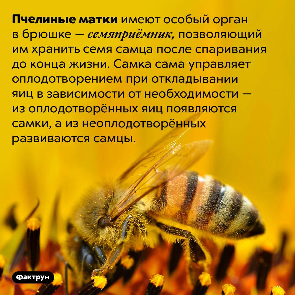 Пчелиные матки хранят семя самца всю жизнь. Пчелиные матки имеют особый орган в брюшке — семяприёмник, позволяющий им хранить семя самца после спаривания до конца жизни. Самка сама управляет оплодотворением при откладывании яиц в зависимости от необходимости — из оплодотворённых яиц появляются самки, а из неоплодотворённых развиваются самцы.