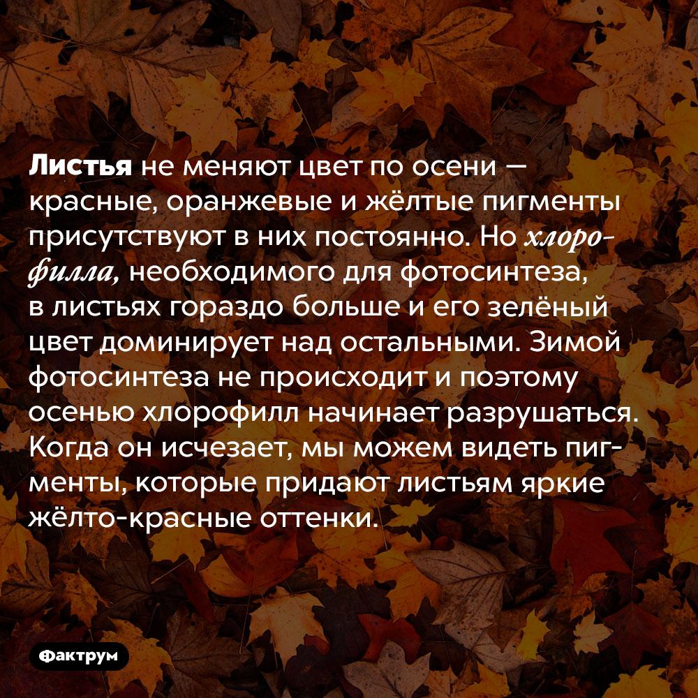 Почему листья желтеют поосени. Листья не меняют цвет по осени — красные, оранжевые и жёлтые пигменты присутствуют в них постоянно. Но хлорофилла, необходимого для фотосинтеза, в листьях гораздо больше и его зелёный цвет доминирует над остальными. Зимой фотосинтеза не происходит и поэтому осенью хлорофилл начинает разрушаться. Когда он исчезает, мы можем видеть пигменты, которые придают листьям яркие жёлто-красные оттенки.
