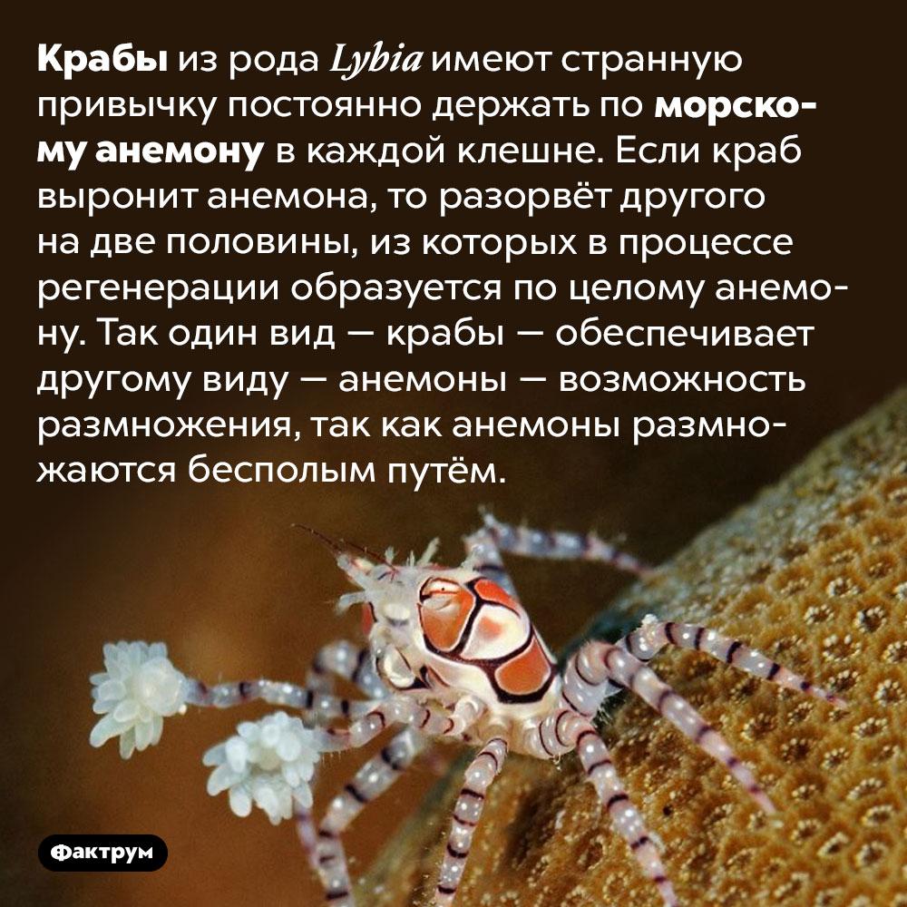 Крабы, которые помогают размножаться анемонам. Крабы из рода <em>Lybia</em> имеют странную привычку постоянно держать по морскому анемону в каждой клешне. Если краб выронит анемона, то разорвёт другого на две половины, из которых в процессе регенерации образуется по целому анемону. Так один вид — крабы — обеспечивает другому виду — анемоны — возможность размножения, так как анемоны размножаются бесполым путём.