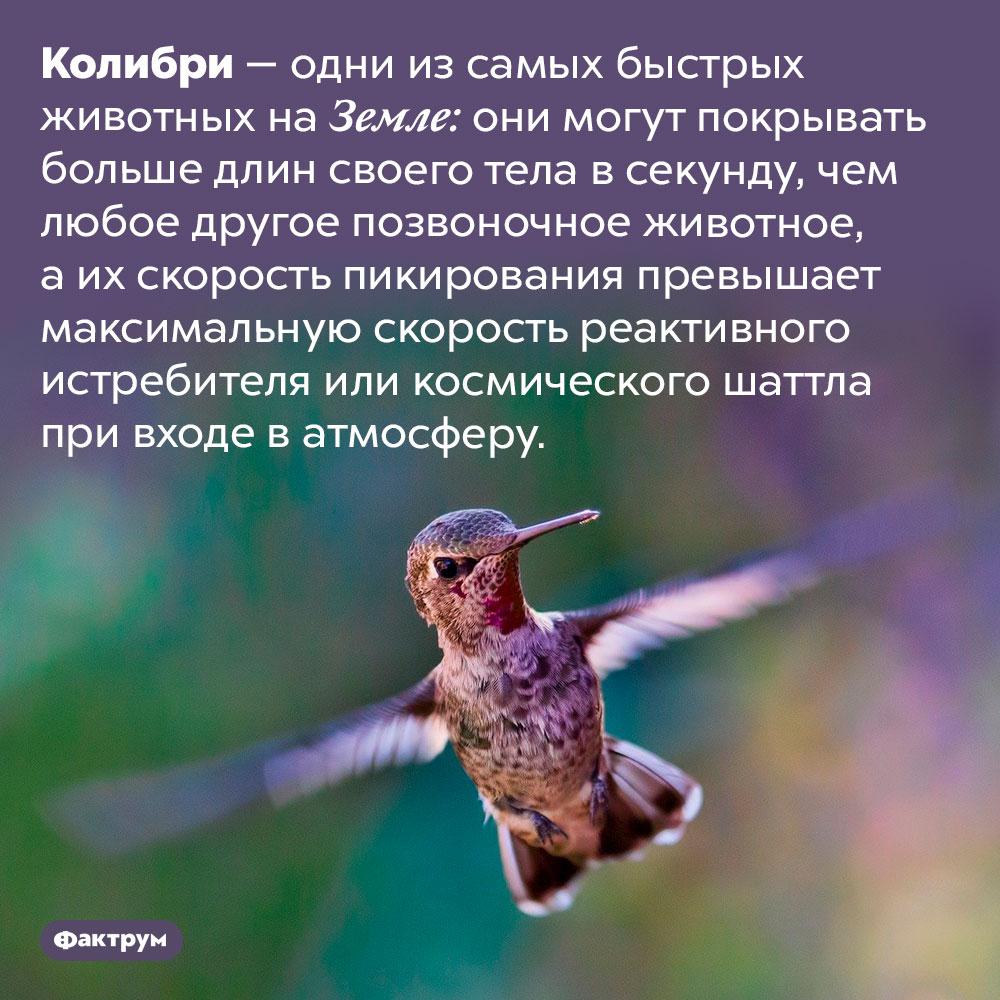 Колибри пикируют быстрее, чем истребители. Колибри — одни из самых быстрых животных на Земле: они могут покрывать больше длин своего тела в секунду, чем любое другое позвоночное животное, а их скорость пикирования превышает максимальную скорость реактивного истребителя или космического шаттла при входе в атмосферу.