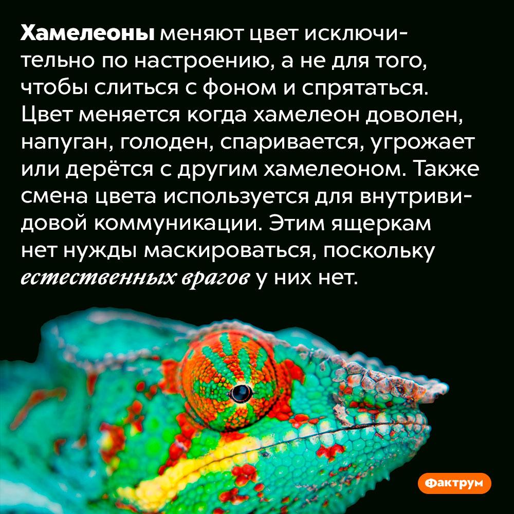 Хамелеоны неимеют естественных врагов инеменяют цвет для маскировки. Хамелеоны меняют цвет исключительно по настроению, а не для того, чтобы слиться с фоном и спрятаться. Цвет меняется когда хамелеон доволен, напуган, голоден, спаривается, угрожает или дерётся с другим хамелеоном. Также смена цвета используется для внутривидовой коммуникации. Этим ящеркам нет нужды маскироваться, поскольку естественных врагов у них нет.
