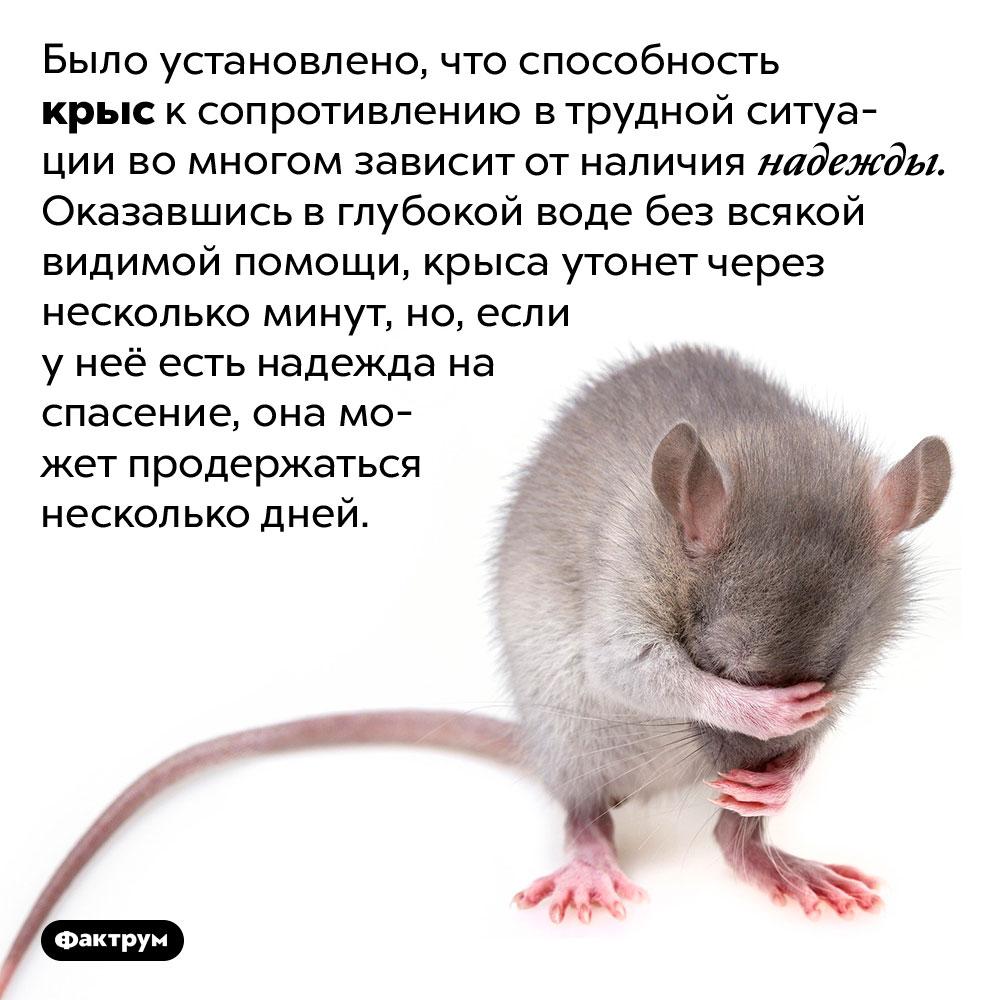Вопасной ситуации надежда наспасение помогает крысам продержаться дольше. Было установлено, что способность крыс к сопротивлению в трудной ситуации во многом зависит от наличия надежды. Оказавшись в глубокой воде без всякой видимой помощи, крыса утонет через несколько минут, но, если у неё есть надежда на спасение, она может продержаться несколько дней.