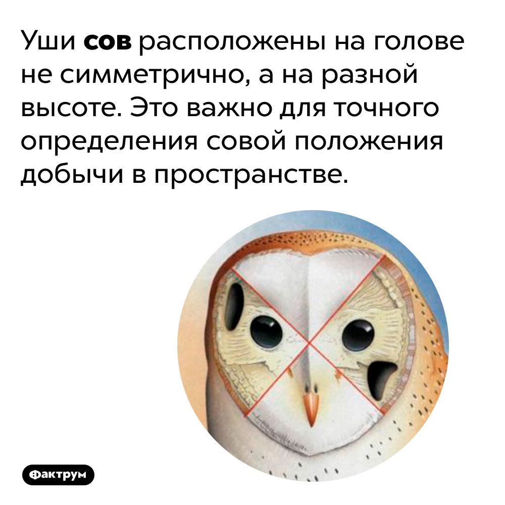 Почему усов ассиметричные уши. Уши сов расположены на голове не симметрично, а на разной высоте. Это важно для точного определения совой положения добычи в пространстве.