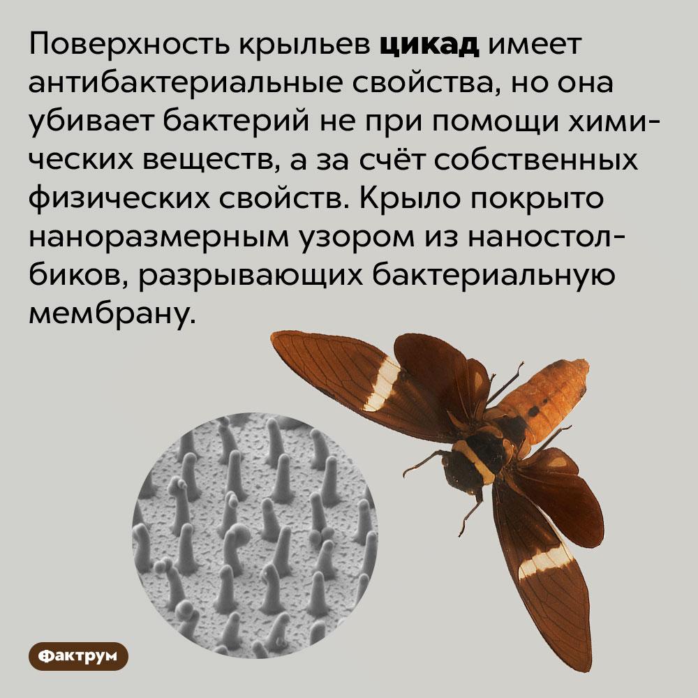 У цикад антибактериальные крылья. Поверхность крыльев цикад имеет антибактериальные свойства, но она убивает бактерий не при помощи химических веществ, а за счёт собственных физических свойств. Крыло покрыто наноразмерным узором из наностолбиков, разрывающих бактериальную мембрану.