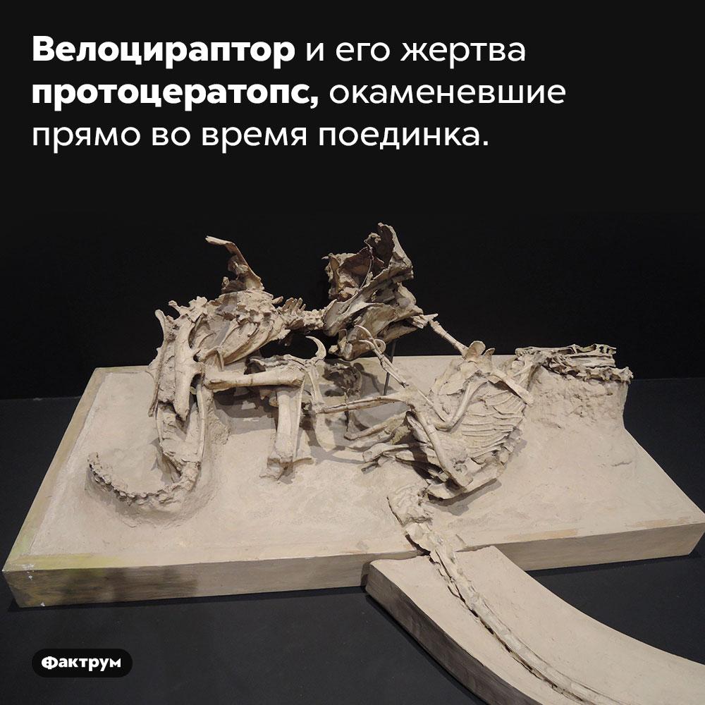 Велоцираптор иего жертва протоцератопс, окаменевшие прямо вовремя поединка.
