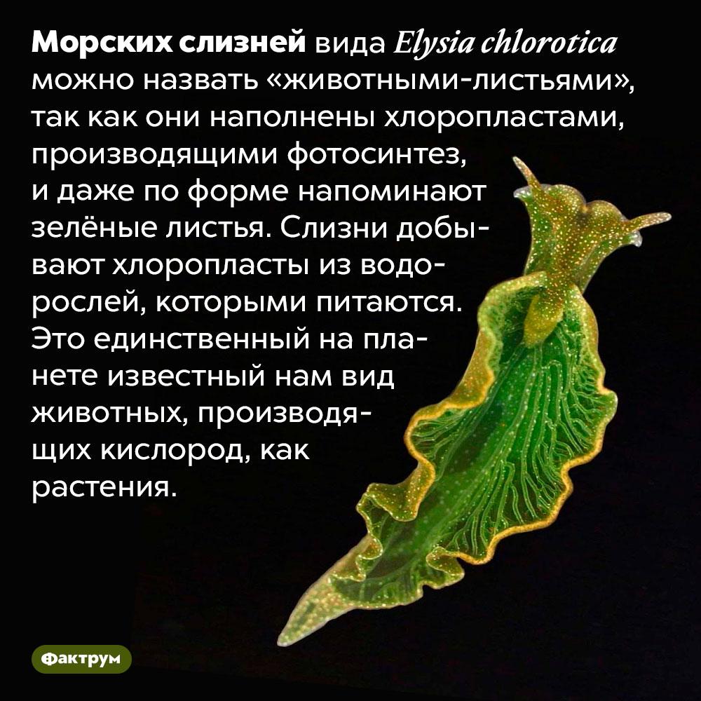 Единственный напланете вид животных, производящих кислород. Морских слизней вида <em>Elysia chlorotica</em> можно назвать «животными-листьями», так как они наполнены хлоропластами, производящими фотосинтез, и даже по форме напоминают зелёные листья. Слизни добывают хлоропласты из водорослей, которыми питаются. Это единственный на планете известный нам вид животных, производящих кислород, как растения.