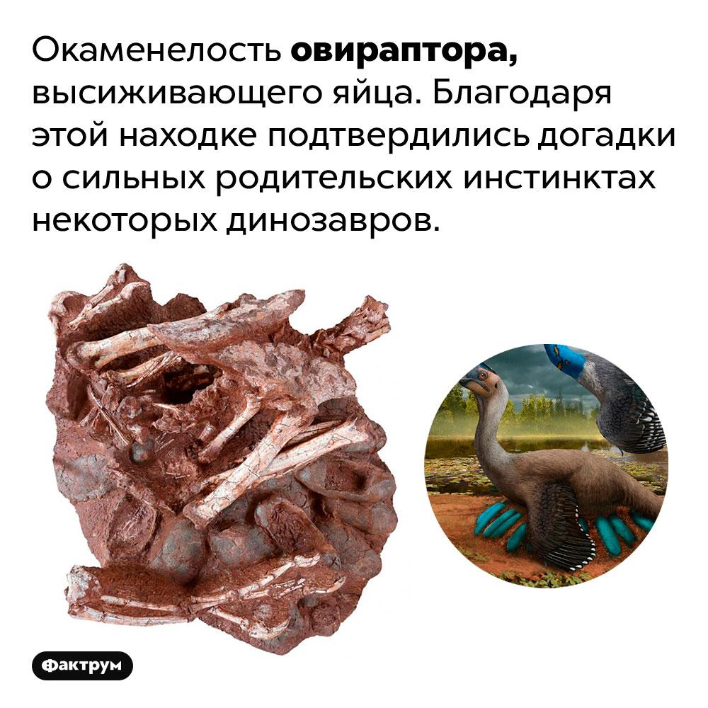 Окаменелость овираптора, высиживающего яйца. Благодаря этой находке подтвердились догадки о сильных родительских инстинктах некоторых динозавров.