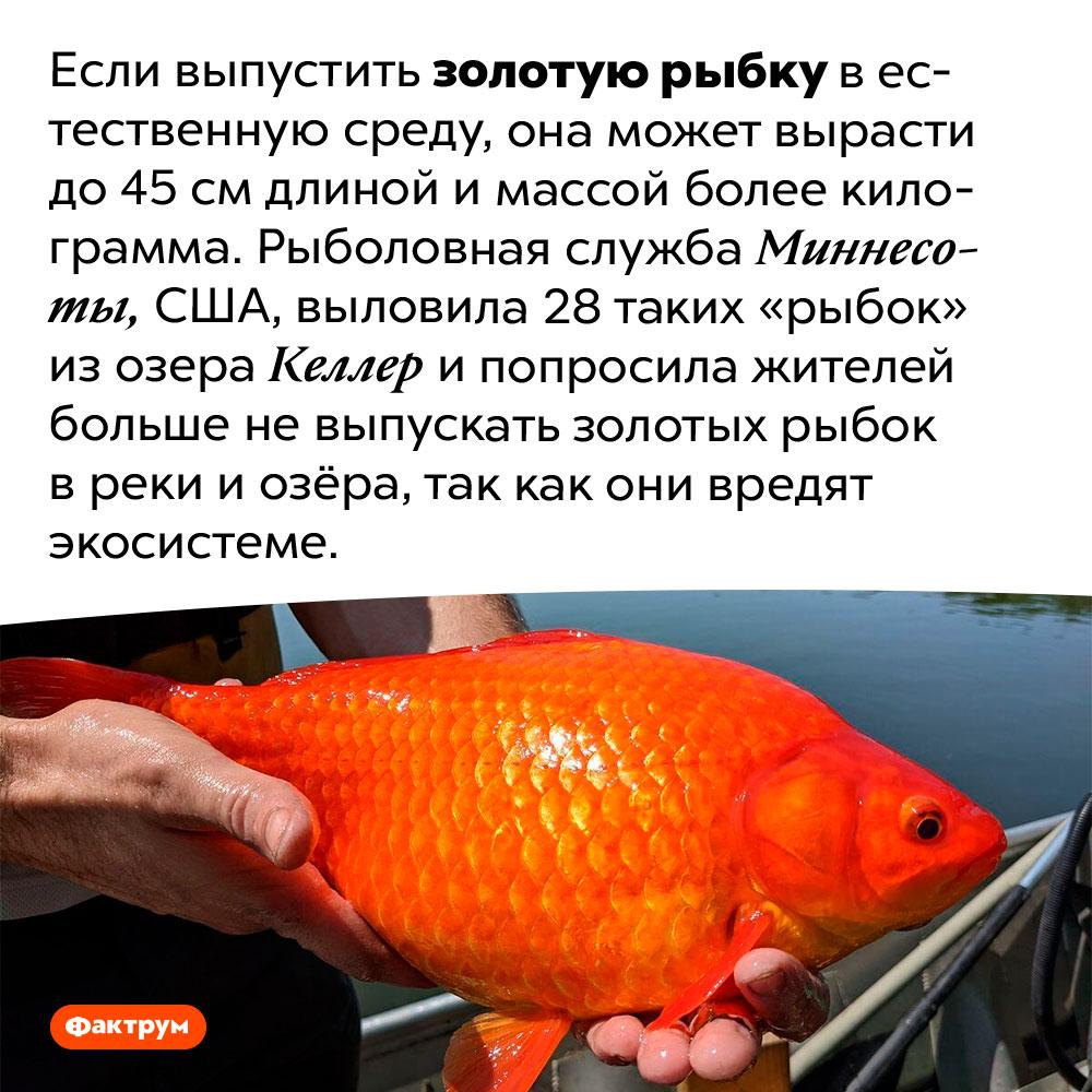 Огромные золотые рыбки. Если выпустить золотую рыбку в естественную среду, она может вырасти до 45 см длиной и массой более килограмма. Рыболовная служба Миннесоты, США, выловила 28 таких «рыбок» из озера Келлер и попросила жителей больше не выпускать золотых рыбок в реки и озёра, так как они вредят экосистеме.
