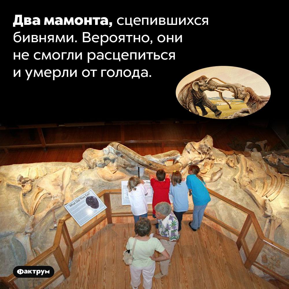 Два мамонта, сцепившихся бивнями. Вероятно, они не смогли расцепиться и умерли от голода.