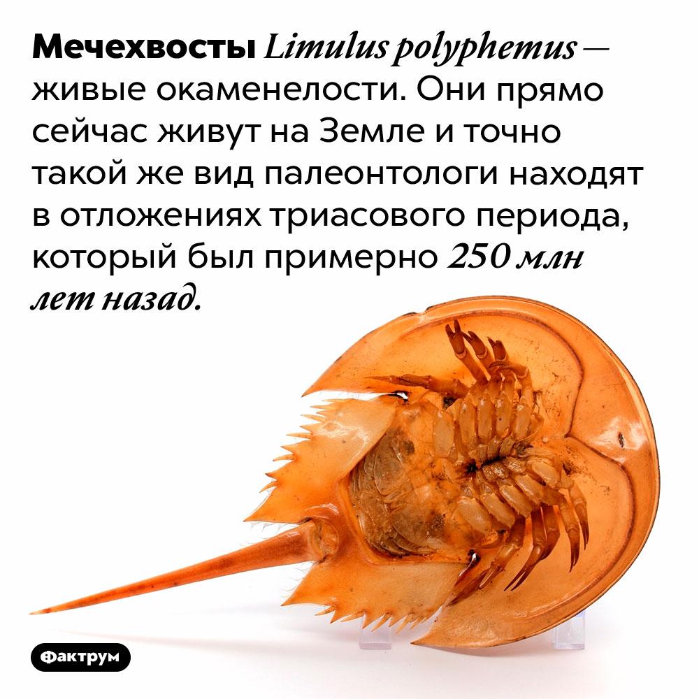 Живые окаменелости. Мечехвосты <em>Limulus polyphemus</em> — живые окаменелости. Они прямо сейчас живут на Земле и точно такой же вид палеонтологи находят в отложениях триасового периода, который был примерно 250 млн лет назад.