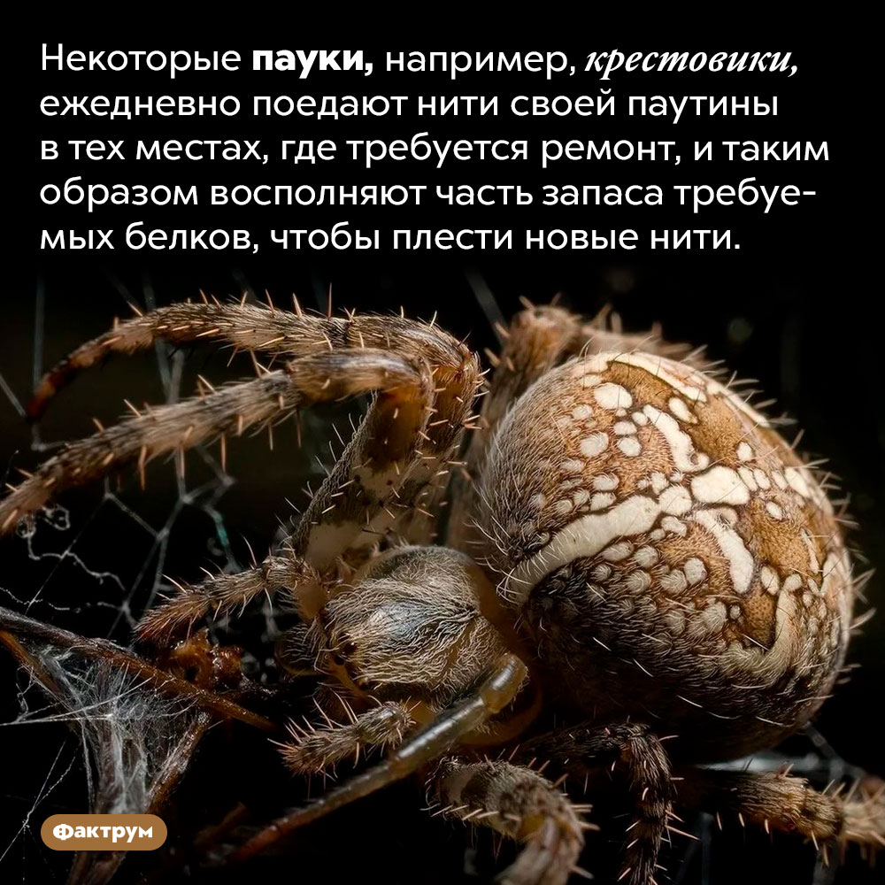 Пауки едят паутину. Некоторые пауки, например, крестовики, ежедневно поедают нити своей паутины в тех местах, где требуется ремонт, и таким образом восполняют часть запаса требуемых белков, чтобы плести новые нити.