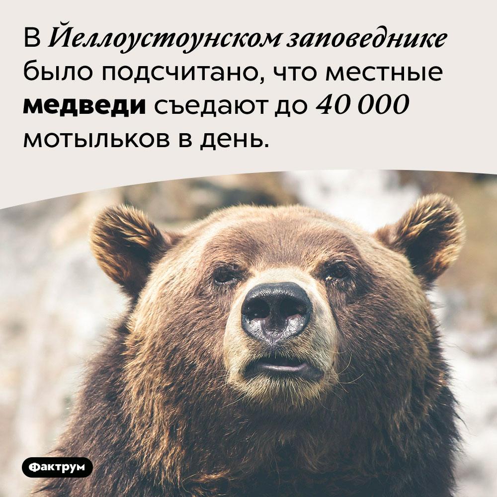 Медведь способен поймать исъесть десятки тысяч насекомых заодни сутки. В Йеллоустоунском заповеднике было подсчитано, что местные медведи съедают до 40 000 мотыльков в день.