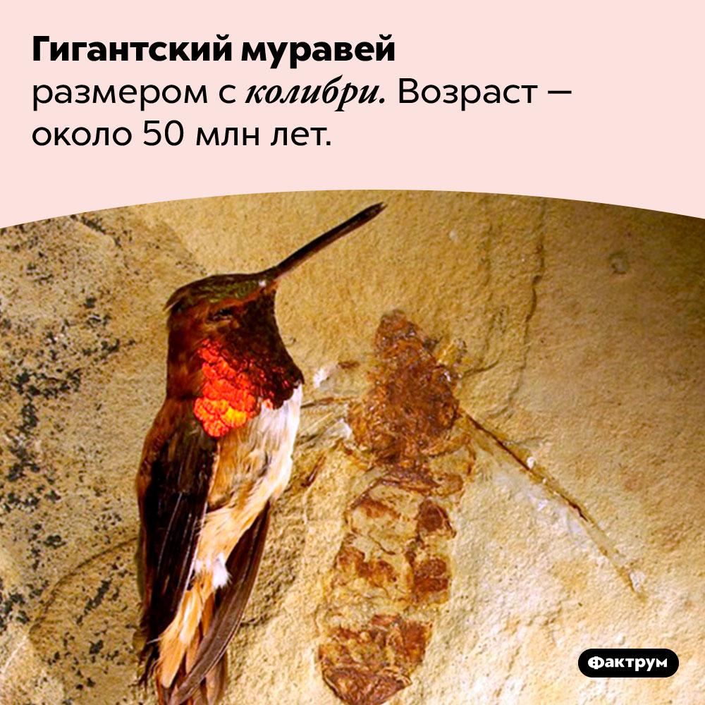 Гигантский муравей размером сколибри. Возраст — около 50 млн лет.