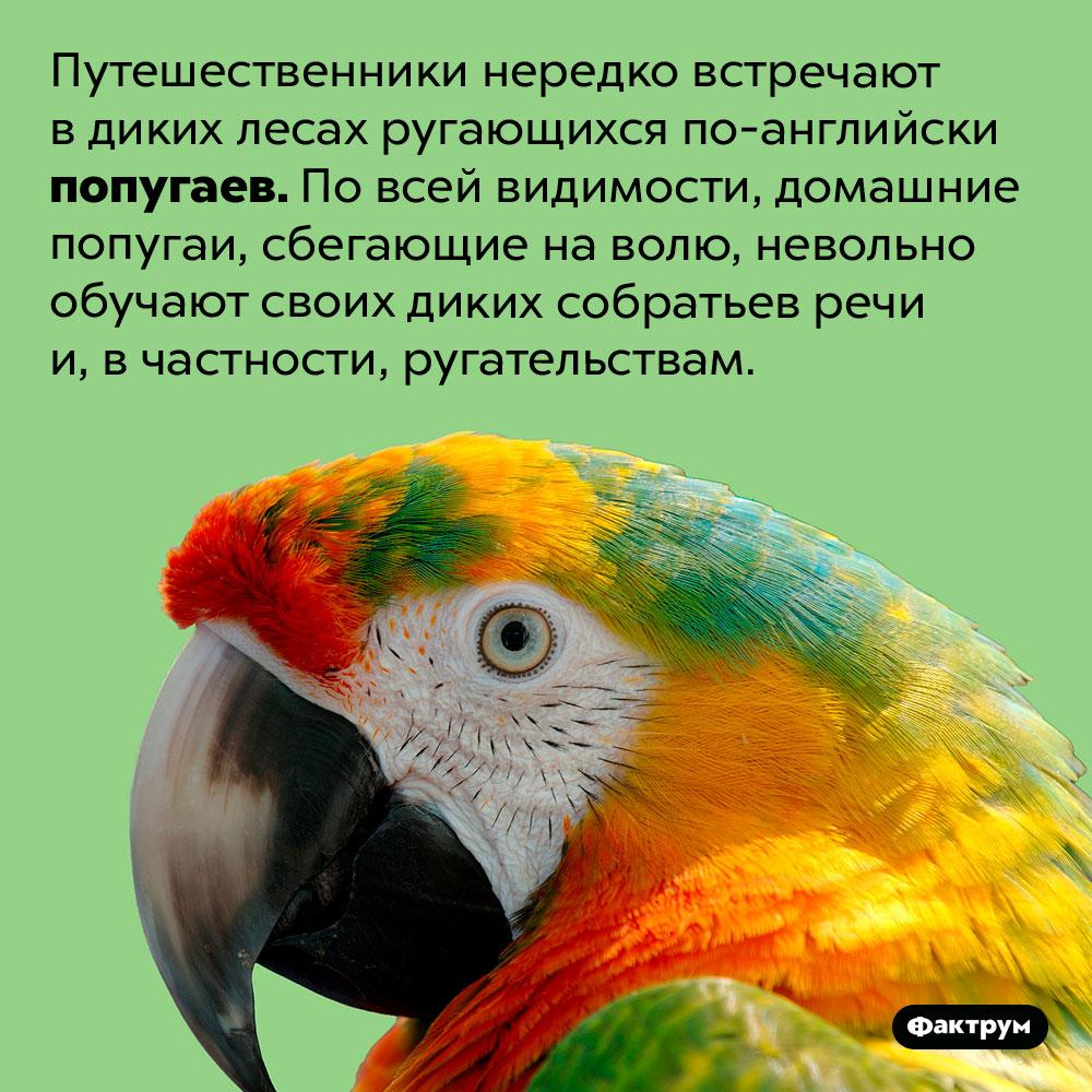 Дикие попугаи порой ругаются по-английски. Путешественники нередко встречают в диких лесах ругающихся по-английски попугаев. По всей видимости, домашние попугаи, сбегающие на волю, невольно обучают своих диких собратьев речи и, в частности, ругательствам.