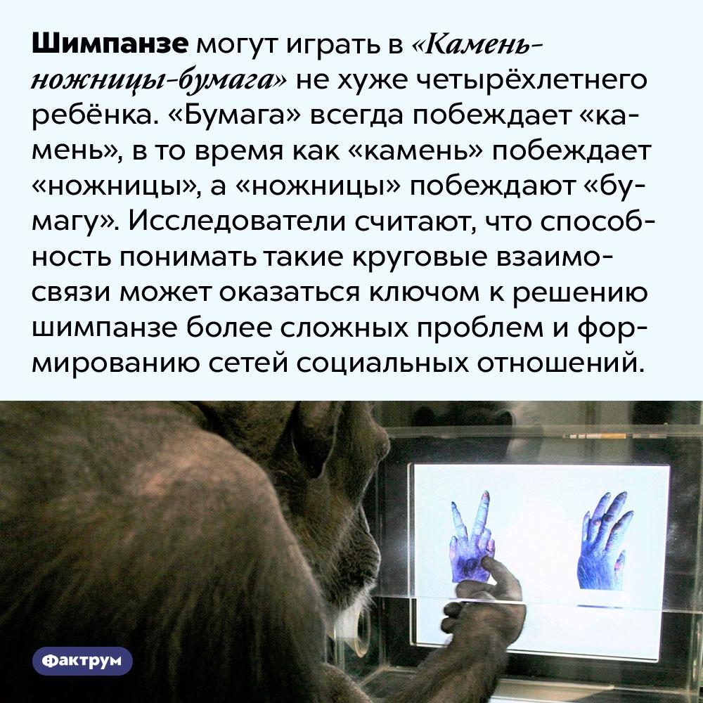 Шимпанзе могут играть в«Камень-ножницы-бумага» нехуже четырёхлетнего ребёнка. Шимпанзе могут играть в «Камень-ножницы-бумага» не хуже четырёхлетнего ребёнка. «Бумага» всегда побеждает «камень», в то время как «камень» побеждают «ножницы», а «ножницы» побеждают «бумагу». Исследователи считают, что способность понимать такие круговые взаимосвязи может оказаться ключом к решению шимпанзе более сложных проблем и формированию сетей социальных отношений.