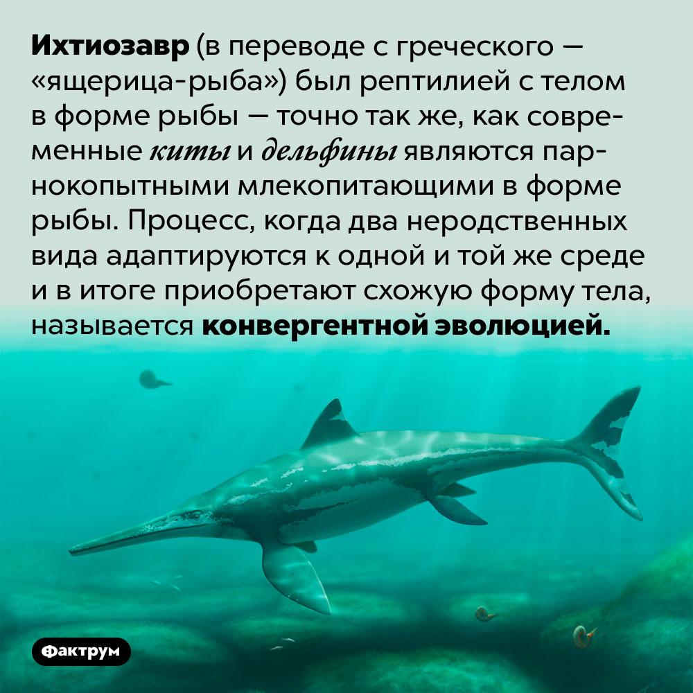 Почему некоторые парнокопытные живут вморе. Ихтиозавр (в переводе с греческого — «ящерица-рыба») был рептилией с телом в форме рыбы — точно так же, как современные киты и дельфины являются парнокопытными млекопитающими в форме рыбы. Процесс, когда два неродственных вида адаптируются к одной и той же среде и в итоге приобретают схожую форму тела, называется конвергентной эволюцией.
