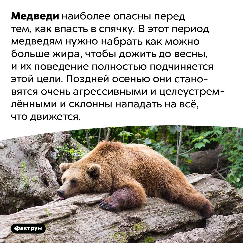 Медведи наиболее опасны перед спячкой. Медведи наиболее опасны перед тем, как впасть в спячку. В этот период медведям нужно набрать как можно больше жира, чтобы дожить до весны, и их поведение полностью подчиняется этой цели. Поздней осенью они становятся очень агрессивными и целеустремлёнными и склонны нападать на всё, что движется.