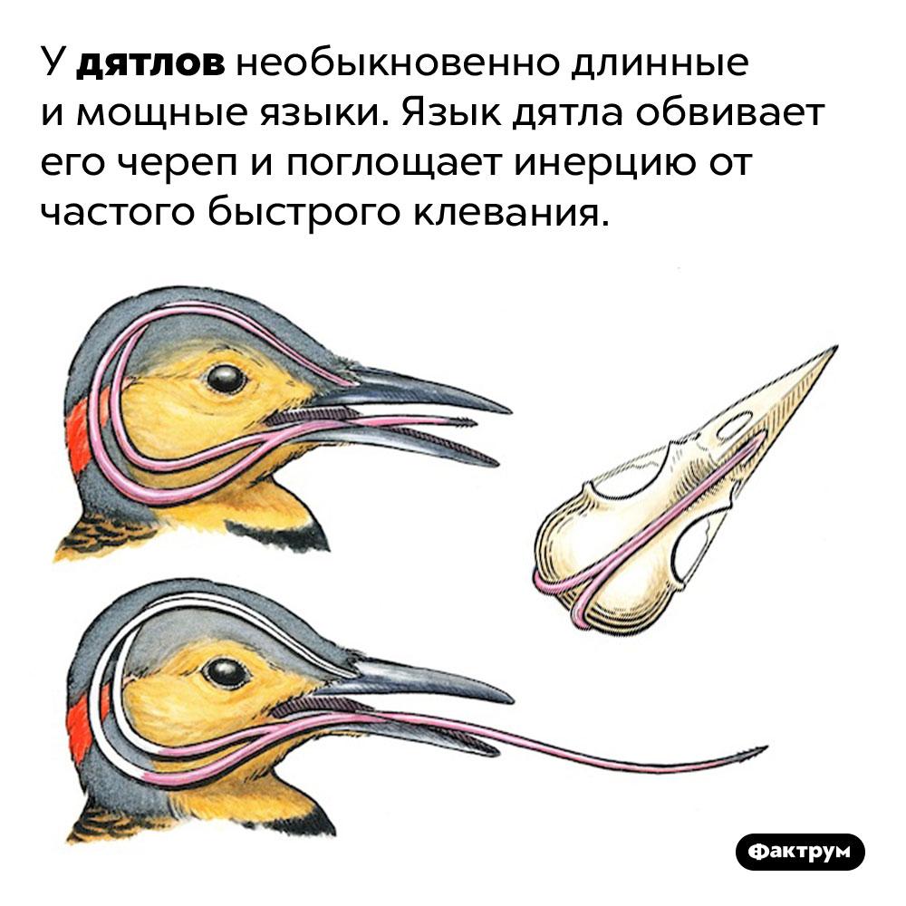 Необычные языки дятлов. У дятлов необыкновенно длинные и мощные языки. Язык дятла обвивает его череп и поглощает инерцию от частого быстрого клевания.