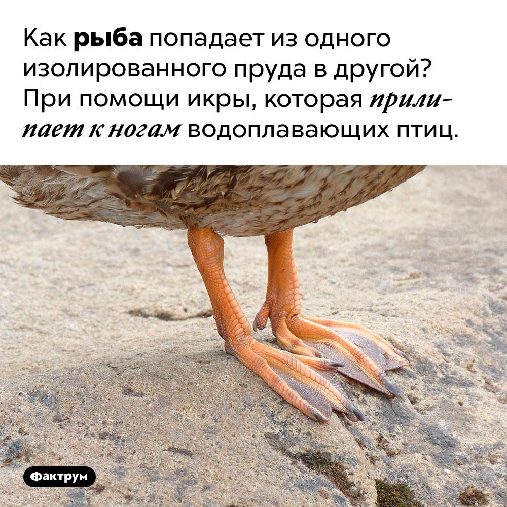 Как рыба попадает изодного пруда вдругой. Как рыба попадает из одного изолированного пруда в другой? При помощи икры, которая прилипает к ногам водоплавающих птиц.