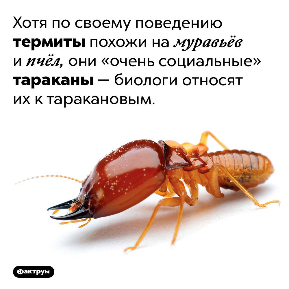Термиты — очень социальные тараканы. Хотя по своему поведению термиты похожи на муравьёв и пчёл, они «очень социальные» тараканы — биологи относят их к таракановым.