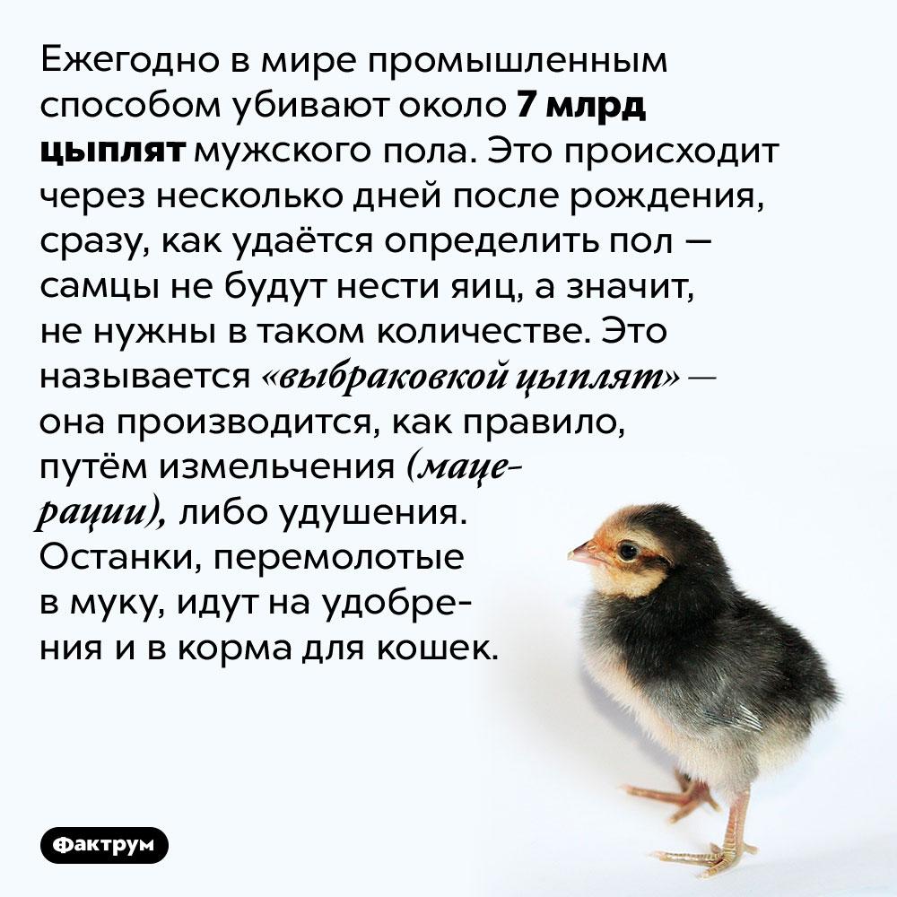 Люди ежегодно убивают семь миллиардов цыплят-самцов, потому что они «ненужны». Ежегодно в мире промышленным способом убивают около 7 млрд цыплят мужского пола. Это происходит через несколько дней после рождения, сразу, как удаётся определить пол — самцы не будут нести яиц, а значит, не нужны в таком количестве. Это называется «выбраковкой цыплят» — она производится, как правило, путём измельчения (мацерации), либо удушения. Останки, перемолотые в муку, идут на удобрения и в корма для кошек.