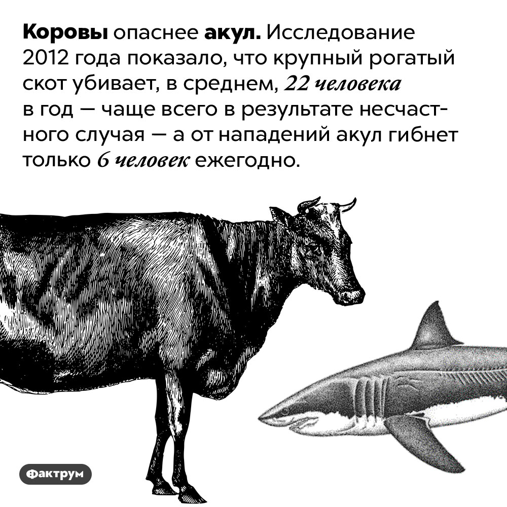 Коровы опаснее акул. Коровы опаснее акул. Исследование 2012 года показало, что крупный рогатый скот убивает, в среднем, 22 человека в год — чаще всего в результате несчастного случая — а от нападений акул гибнет только 6 человек ежегодно.