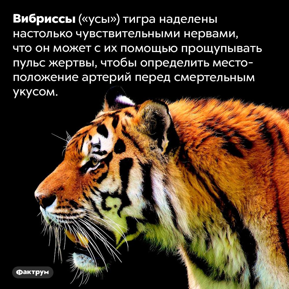 Тигр чувствует усами пульс своей жертвы. Вибриссы («усы») тигра наделены настолько чувствительными нервами, что он может с их помощью прощупывать пульс жертвы, чтобы определить местоположение артерий перед смертельным укусом.