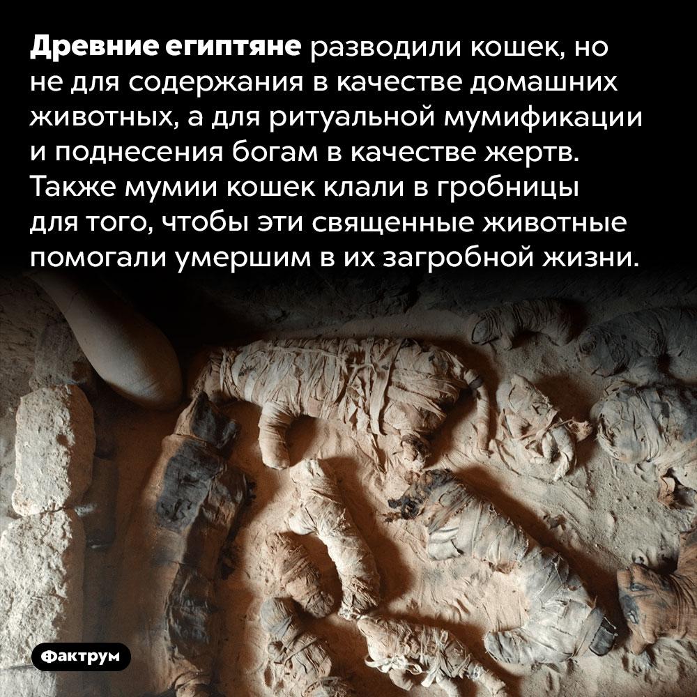 Зачем древним египтянам мумии кошек. Древние египтяне разводили кошек, но не для содержания в качестве домашних животных, а для ритуальной мумификации и поднесения богам в качестве жертв. Также мумии кошек клали в гробницы для того, чтобы эти священные животные помогали умершим в их загробной жизни.