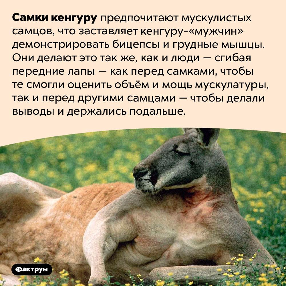 Зачем кенгуру демонстрируют бицепсы. Самки кенгуру предпочитают мускулистых самцов, что заставляет кенгуру-«мужчин» демонстрировать бицепсы и грудные мышцы. Они делают это так же, как и люди — сгибая передние лапы — как перед самками, чтобы те смогли оценить объём и мощь мускулатуры, так и перед другими самцами — чтобы делали выводы и держались подальше.