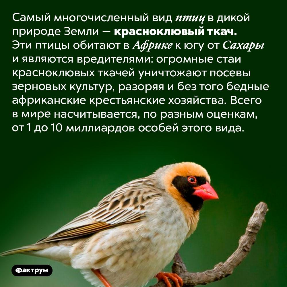 Самый многочисленный вид птиц наЗемле. Самый многочисленный вид птиц в дикой природе Земли — красноклювый ткач. Эти птицы обитают в Африке к югу от Сахары и являются вредителями: огромные стаи красноклювых ткачей уничтожают посевы зерновых культур, разоряя и без того бедные африканские крестьянские хозяйства. Всего в мире насчитывается, по разным оценкам, от 1 до 10 миллиардов особей этого вида.