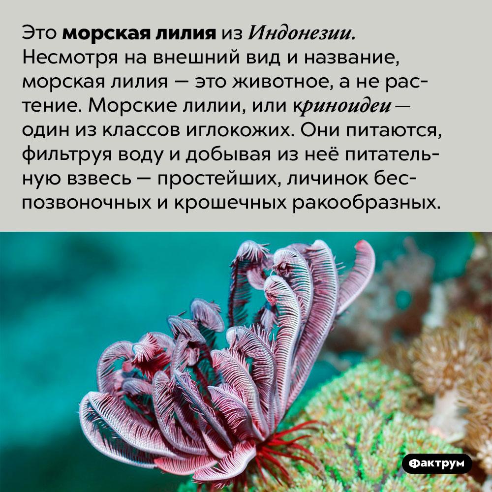 Морская лилия — это животное, анерастение. Это морская лилия из Индонезии. Несмотря на внешний вид и название, морская лилия — это животное, а не растение. Морские лилии, или криноидеи — один из классов иглокожих. Они питаются, фильтруя воду и добывая из неё питательную взвесь — простейших, личинок беспозвоночных и крошечных ракообразных.