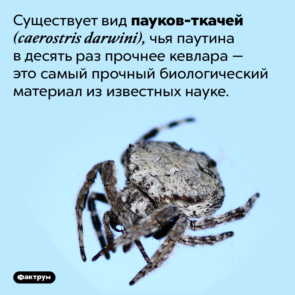 Самый прочный биологический материал изизвестных науке. Существует вид пауков-ткачей (caerostris darwini), чья паутина в десять раз прочнее кевлара — это самый прочный биологический материал из известных науке.