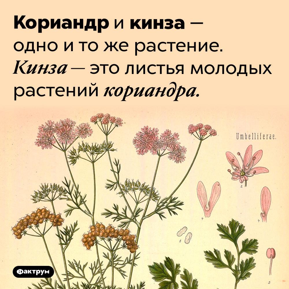 Кориандр икинза — это одно итоже. Кориандр и кинза — одно и то же растение. Кинза — это листья молодых растений кориандра.