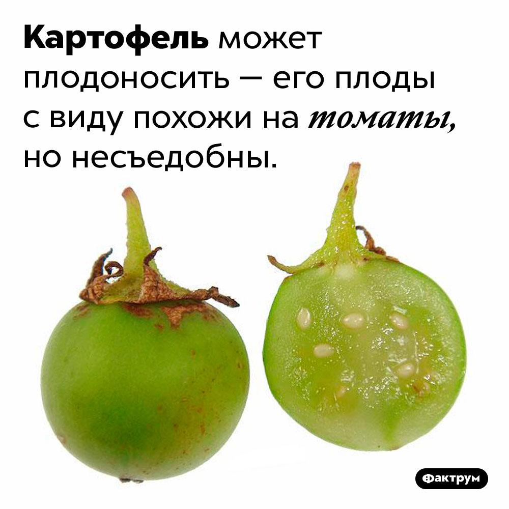 Какие плоды укартофеля?. Картофель может плодоносить — его плоды с виду похожи на томаты, но несъедобны.
