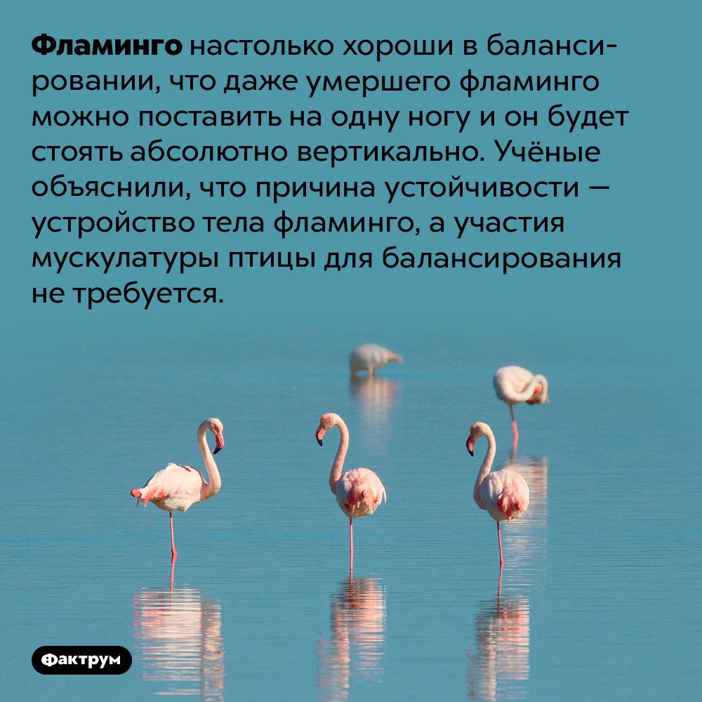 Фламинго могут стоять наодной ноге даже после смерти. Фламинго настолько хороши в балансировании, что даже умершего фламинго можно поставить на одну ногу и он будет стоять абсолютно вертикально. Учёные объяснили, что причина устойчивости — устройство тела фламинго, а участия мускулатуры птицы для балансирования не требуется.