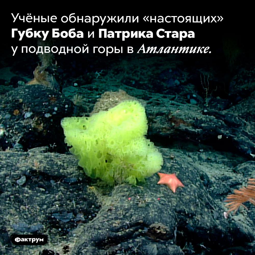 Настоящие Губка Боб иПатрик. Учёные обнаружили «настоящих» Губку Боба и Патрика Стара у подводной горы в Атлантике.