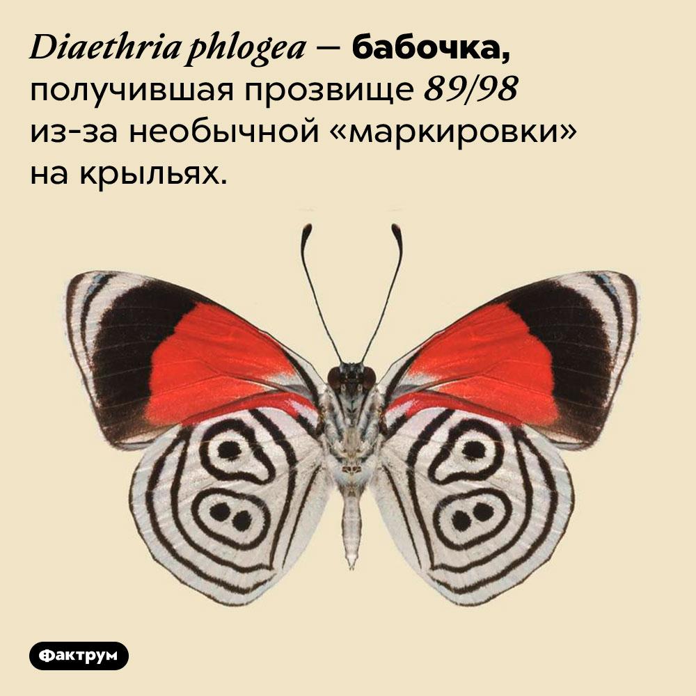 Бабочка сцифрами накрыльях. <em>Diaethria phlogea —</em> бабочка, получившая прозвище 89/98 из-за необычной «маркировки» на крыльях.