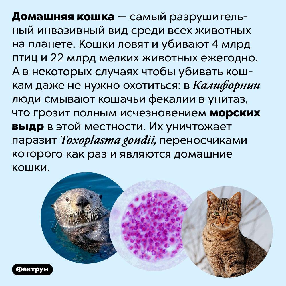 Домашняя кошка убивает, даже неохотясь. Домашняя кошка — самый разрушительный инвазивный вид среди всех животных на планете. Кошки ловят и убивают 4 млрд птиц и 22 млрд мелких животных ежегодно. А в некоторых случаях чтобы убивать кошкам даже не нужно охотиться: в Калифорнии люди смывают кошачьи фекалии в унитаз, что грозит полным исчезновением морских выдр в этой местности. Их уничтожает паразит <em>Toxoplasma gondii,</em> переносчиками которого как раз и являются домашние кошки.