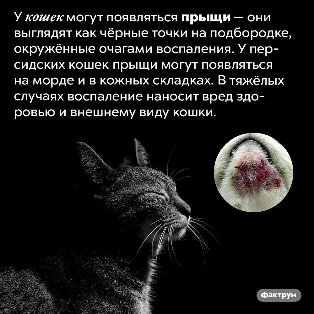Бывают ли укошек прыщи?. У кошек могут появляться прыщи — они выглядят как чёрные точки на подбородке, окружённые очагами воспаления. У персидских кошек прыщи могут появляться на морде и в кожных складках. В тяжёлых случаях воспаление наносит вред здоровью и внешнему виду кошки.